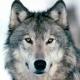 Ritratto di lone wolf